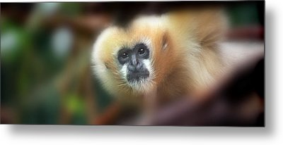 A Gibbon's Stare Metal Print by Greg Slocum
