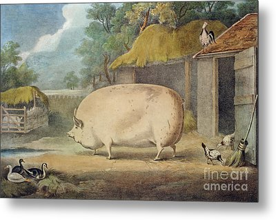 A Leicester Sow Metal Print by William Henry Davis