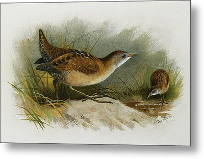 A Little Crake Metal Print by Archibald Thorburn
