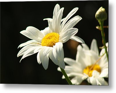 A Little Less Than Perfect Sunshine Daisy  Metal Print by Cathy  Beharriell