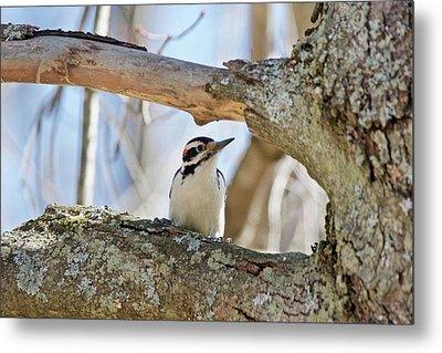 A Male Downey Woodpecker  1111 Metal Print by Michael Peychich