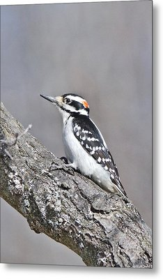 Metal Print featuring the photograph A Male Downey Woodpecker 1120 by Michael Peychich