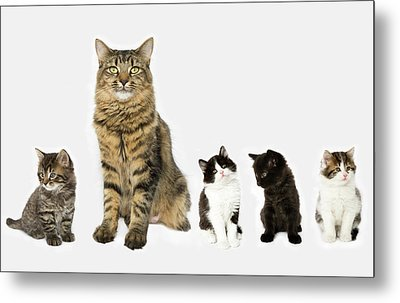 A Mother With Four Kittens All Sitting In A Row. Metal Print by Nicola Tree