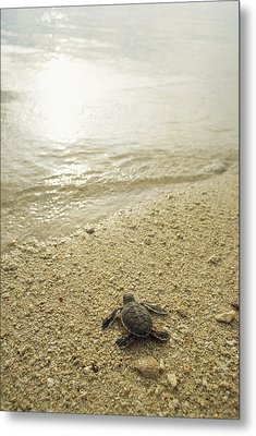 A Newly Hatched Green Sea Turtle Making Metal Print by Tim Laman
