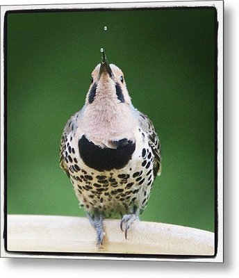 A Northern Flicker Blowing Bubbles At Metal Print