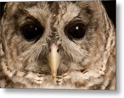 A Portrait Of A Barred Owl Strix Varia Metal Print by Joel Sartore