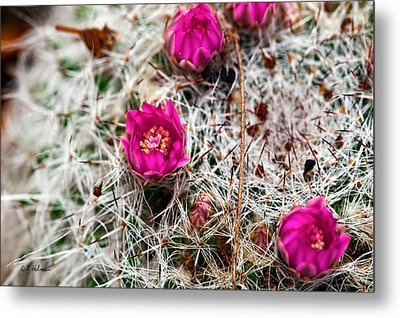 A Prickly Bed Metal Print by Christopher Holmes