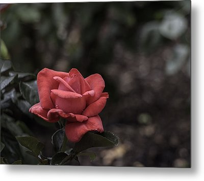 A Red Beauty Metal Print