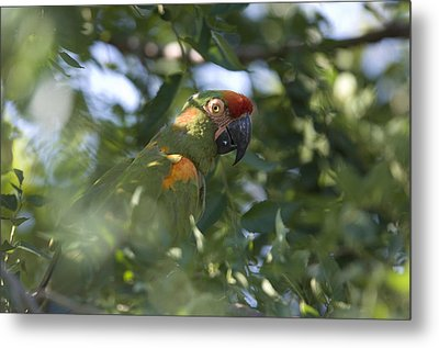 A Red-fronted Macaw At The Sedgwick Metal Print by Joel Sartore