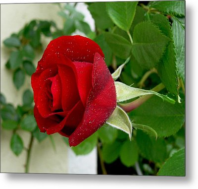 A Red Rose In The Dew Of Pearls Hours Metal Print by Helmut Rottler