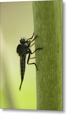 A Robber Fly Asilidae Rests On A Leaf Metal Print by Joel Sartore