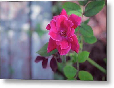 A Rose And A Hard Place Metal Print by Stefanie Silva