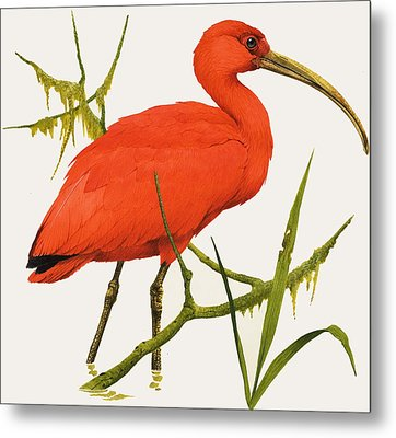A Scarlet Ibis From South America Metal Print by Kenneth Lilly
