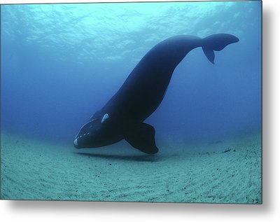 A Southern Right Whale Hovers Inches Metal Print by Brian J. Skerry