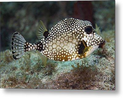 A Spotted Trunkfish, Key Largo, Florida Metal Print