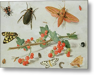 A Sprig Of Redcurrants With An Elephant Hawk Moth, A Magpie Moth And Other Insects, 1657 Metal Print