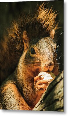 A Squirrel And His Nut Metal Print by Joni Eskridge