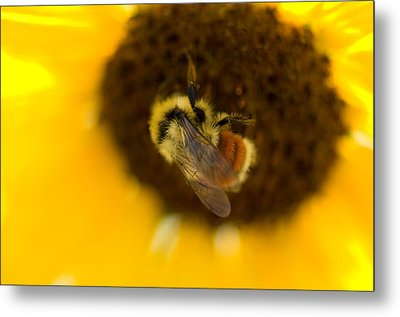 A Sunflower And Bumble Bee In Eastern Metal Print by Joel Sartore