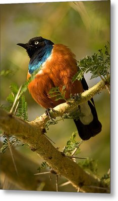 A Superb Starling Perched On An Acacia Metal Print
