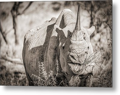 A Tasty Thornbush - Black And White Rhinoceros Photograph Metal Print