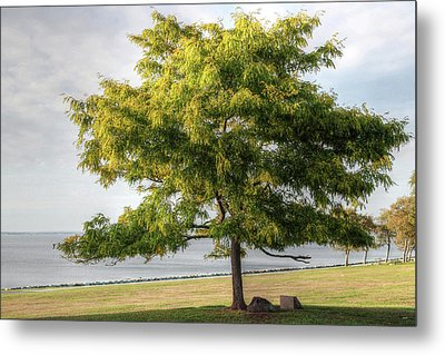 Metal Print featuring the photograph A Tree In The Park Bristol Ri by Tom Prendergast
