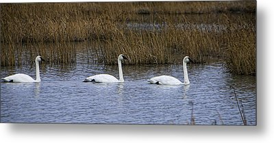 A Trio Of Swans Metal Print