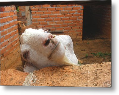 A Visit With A Smiling Goat Metal Print by ARTography by Pamela Smale Williams