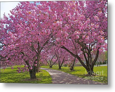 A Walk Down Cherry Blossom Lane Metal Print