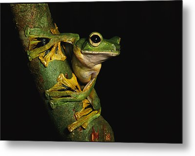 A Wallaces Flying Frog Metal Print