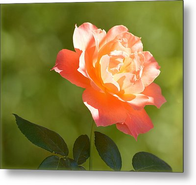 Metal Print featuring the photograph A Well Lighted Rose by AJ Schibig