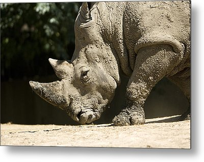 A White Rhino Sniffs The Dust Metal Print by Joel Sartore