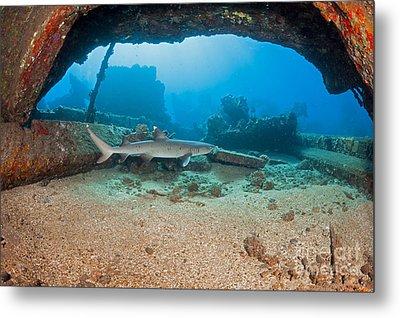 A Whitetip Reef Shark  Triaenodon Metal Print