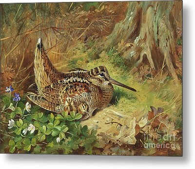 A Woodcock And Chicks Metal Print by Archibald Thorburn