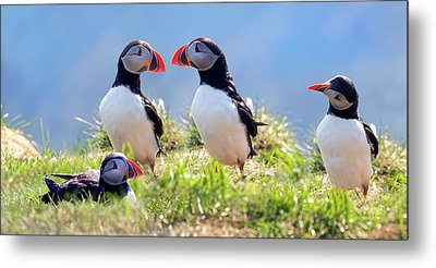 A World Of Puffins Metal Print
