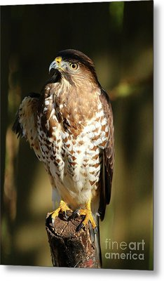 A Young Bird Of Prey Metal Print by Christiane Schulze Art And Photography