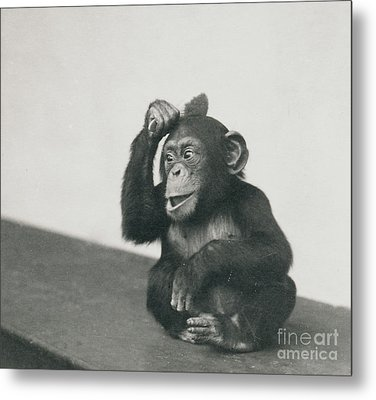 A Young Chimpanzee Playing With A Brush Metal Print