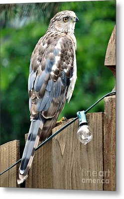 A Young Coopers Hawk  Metal Print