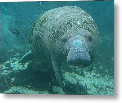 About To Meet A Manatee Metal Print by Kimberly Mohlenhoff