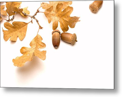 Acorns And Oak Leaves Metal Print