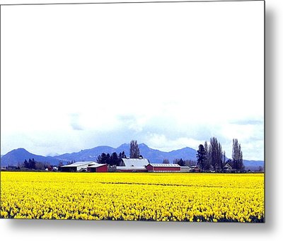 Acres Of Daffodils Metal Print by Will Borden
