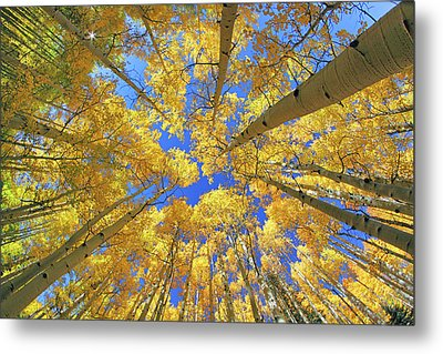 Metal Print featuring the photograph Admiring Aspens - Colorado - Autumn by Jason Politte