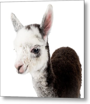 Adorable Baby Alpaca Cuteness Metal Print by TC Morgan