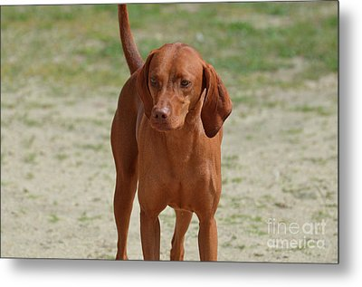 Adorable Redbone Coonhound Standing Alone Metal Print