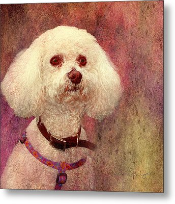 Adoration - Portrait Of A Bichon Frise  Metal Print