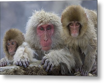 Adult And Two Young Metal Print by Roy Toft