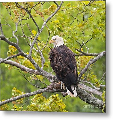 Adult Bald Eagle Metal Print