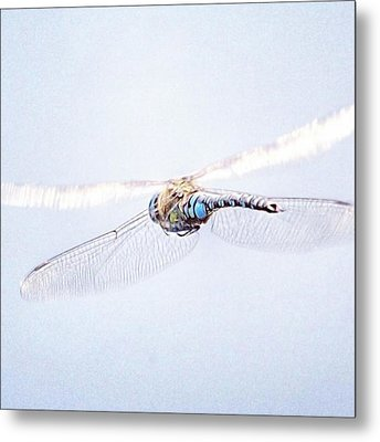 Aeshna Juncea - Common Hawker In Metal Print by John Edwards