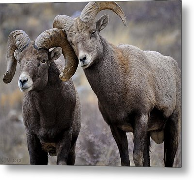 Affectionate Rams Metal Print by Kevin Munro