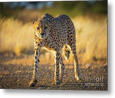 African Cheetah Metal Print by Inge Johnsson