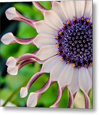 African Daisy Squared Metal Print by TK Goforth